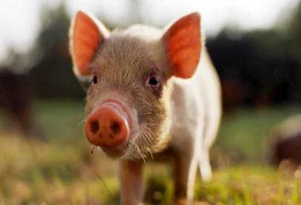 Чем опасен 2019 год Желтой Свиньи